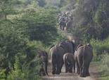 Verkehrsbehinderung durch Elefant