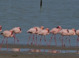 Flamingos im West Coast Park
