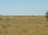 viele Zebras unterwegs