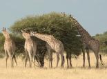 immerhin Giraffen