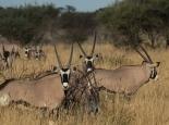 Oryxe im Central Kalahari NP