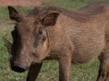 Halbzahmes Warzenschwein