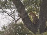 ... und für den Leopard