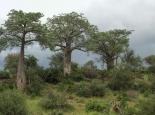 der Inbegriff von Afrika: der Baobab