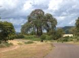 viele Baobabs