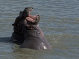 junge Hippos