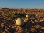 Wüstenmelonen