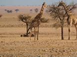 Giraffen am Camp Ganab