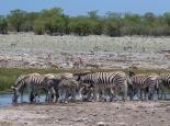 viele Tiere an den Wasserlöchern