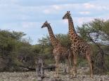 bei den Giraffen ...